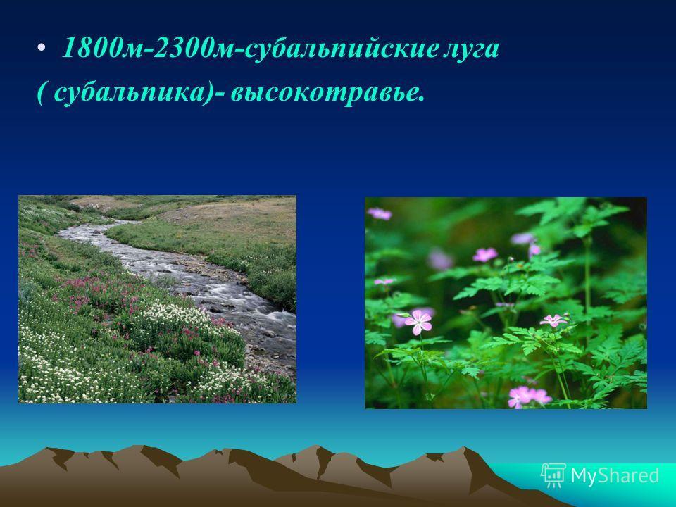 1800 м-2300 м-субальпийские луга ( субальпика)- высокотравье.