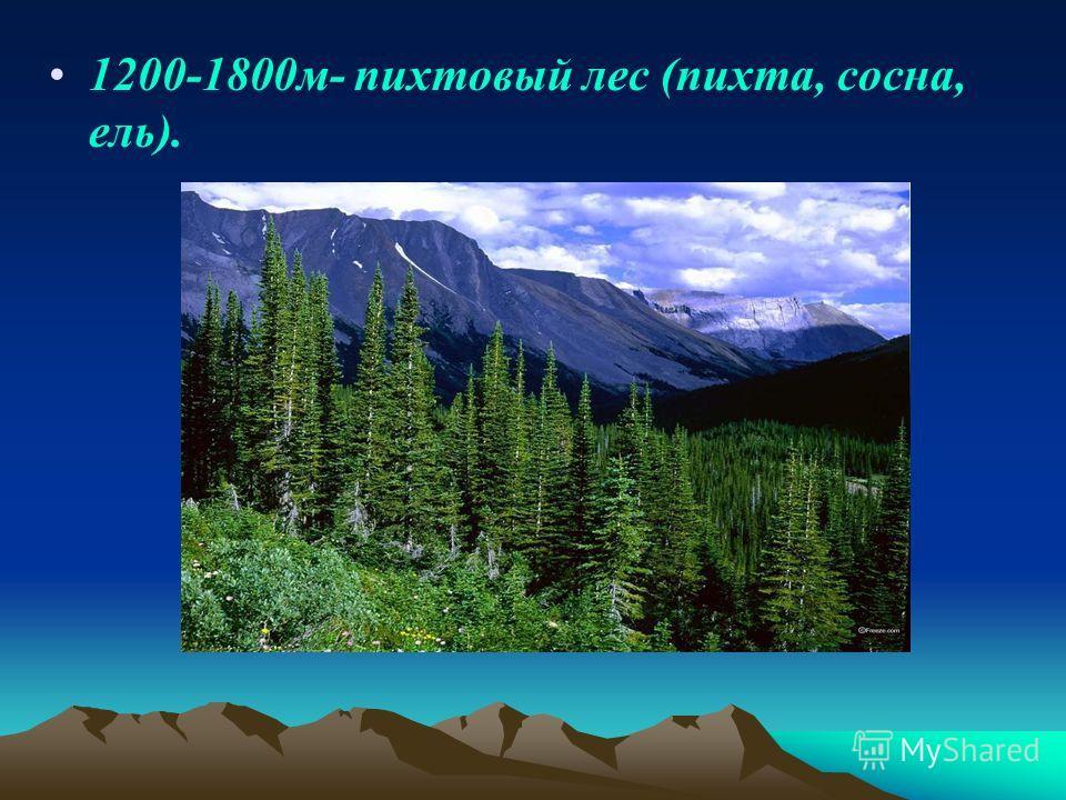 1200-1800 м- пихтовый лес (пихта, сосна, ель).