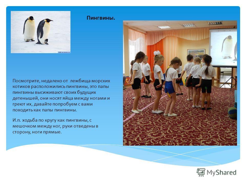 Посмотрите, недалеко от лежбища морских котиков расположились пингвины, это папы пингвины высиживают своих будущих детенышей, они носят яйца между ногами и греют их, давайте попробуем с вами походить как папы пингвины. И.п. ходьба по кругу как пингви