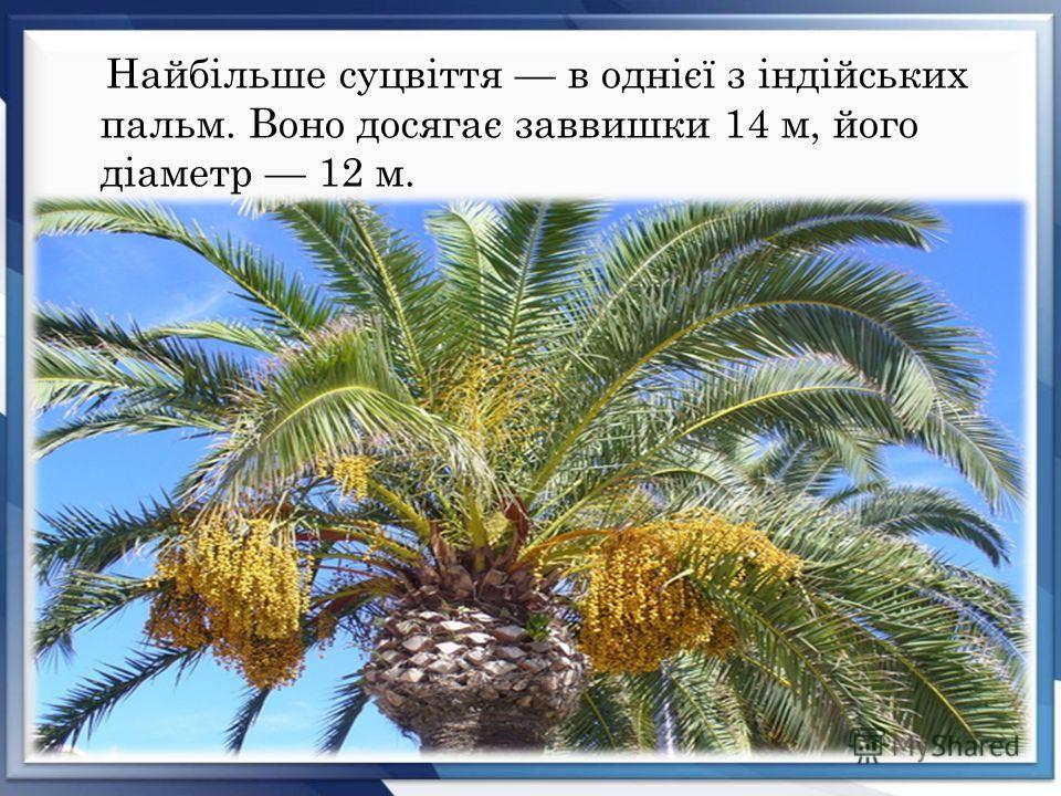 Найбільше суцвіття в однієї з індійських пальм. Воно досягає заввишки 14 м, його діаметр 12 м.