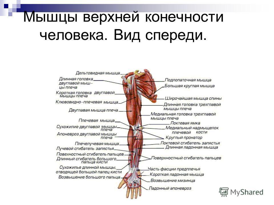 Мышцы верхней конечности человека. Вид спереди.