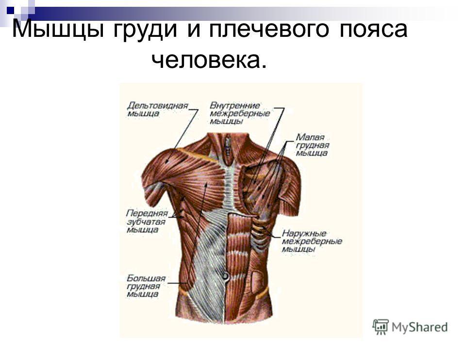Мышцы груди и плечевого пояса человека.