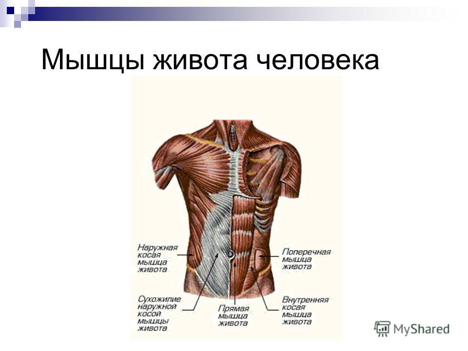 Мышцы живота человека