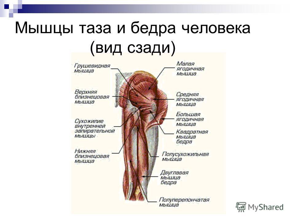 Мышцы таза и бедра человека (вид сзади)