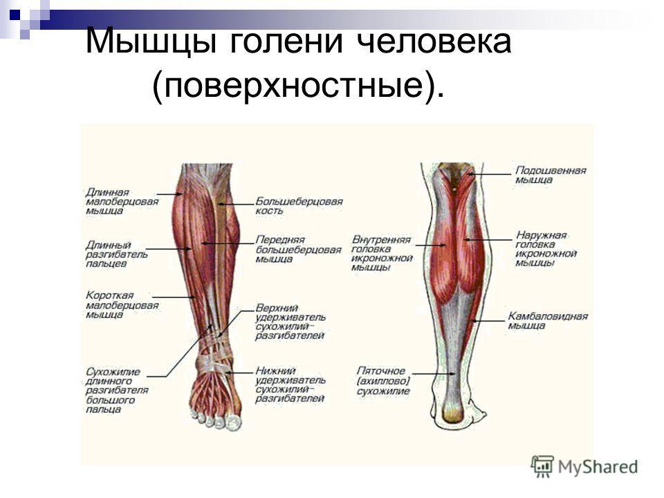Мышцы голени человека (поверхностные).