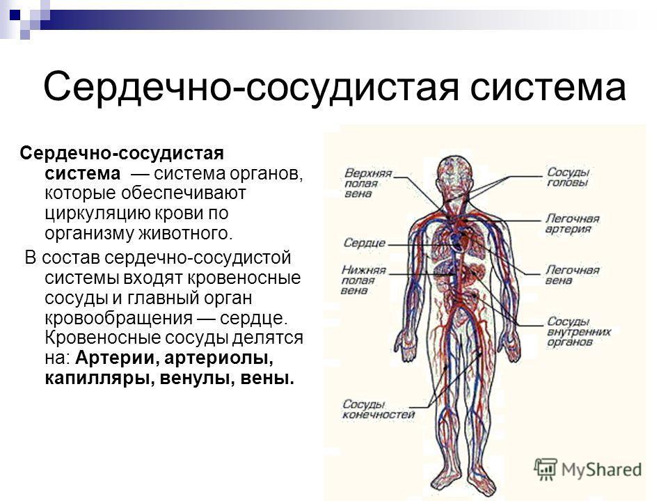 Сердечно-сосудистая система Сердечно-сосудистая система система органов, которые обеспечивают циркуляцию крови по организму животного. В состав сердечно-сосудистой системы входят кровеносные сосуды и главный орган кровообращения сердце. Кровеносные с