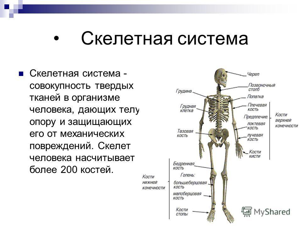 Скелетная система Скелетная система - совокупность твердых тканей в организме человека, дающих телу опору и защищающих его от механических повреждений. Скелет человека насчитывает более 200 костей.