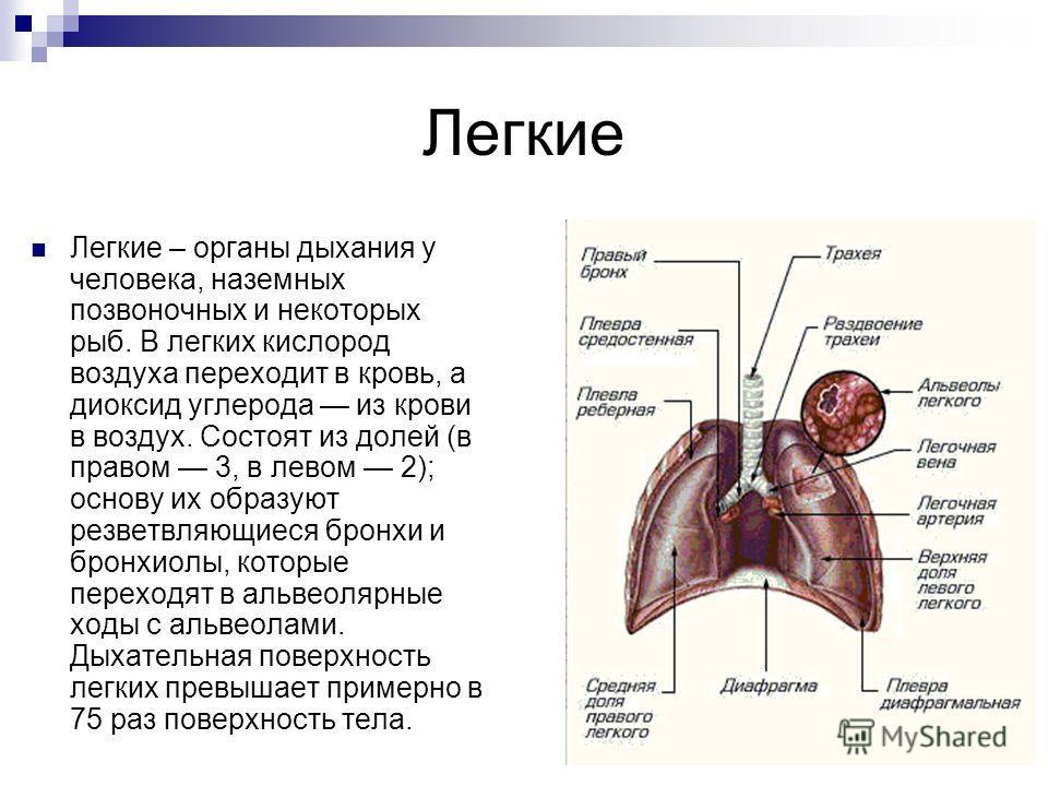 Легкие Легкие – органы дыхания у человека, наземных позвоночных и некоторых рыб. В легких кислород воздуха переходит в кровь, а диоксид углерода из крови в воздух. Состоят из долей (в правом 3, в левом 2); основу их образуют резветвляющиеся бронхи и