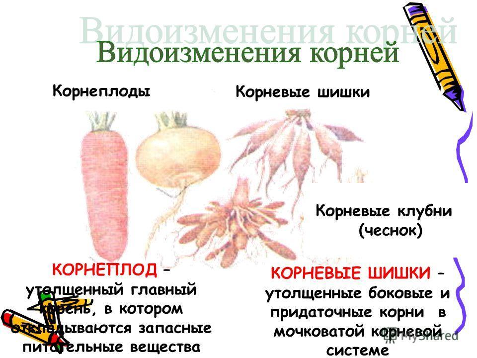 Корнеплоды Корневые шишки КОРНЕПЛОД – утолщенный главный корень, в котором откладываются запасные питательные вещества КОРНЕВЫЕ ШИШКИ – утолщенные боковые и придаточные корни в мочковатой корневой системе Корневые клубни (чеснок)