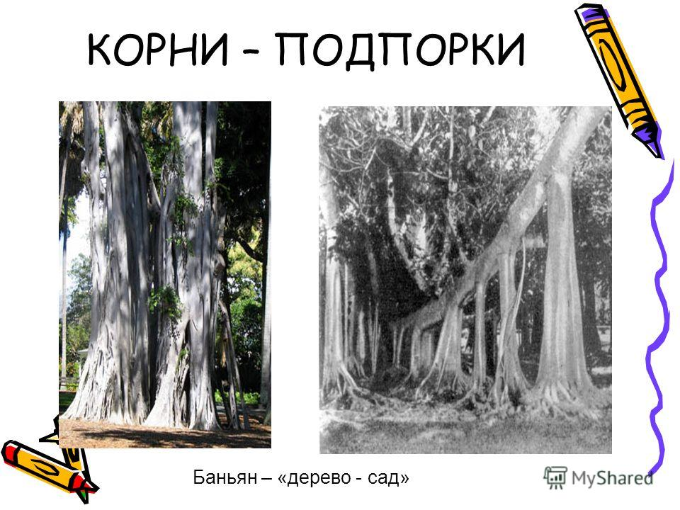 КОРНИ – ПОДПОРКИ Баньян – «дерево - сад»