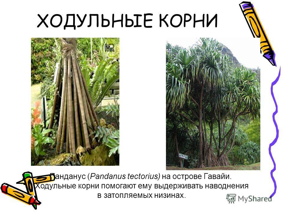 ХОДУЛЬНЫЕ КОРНИ Панданус (Pandanus tectorius) на острове Гавайи. Ходульные корни помогают ему выдерживать наводнения в затопляемых низинах.