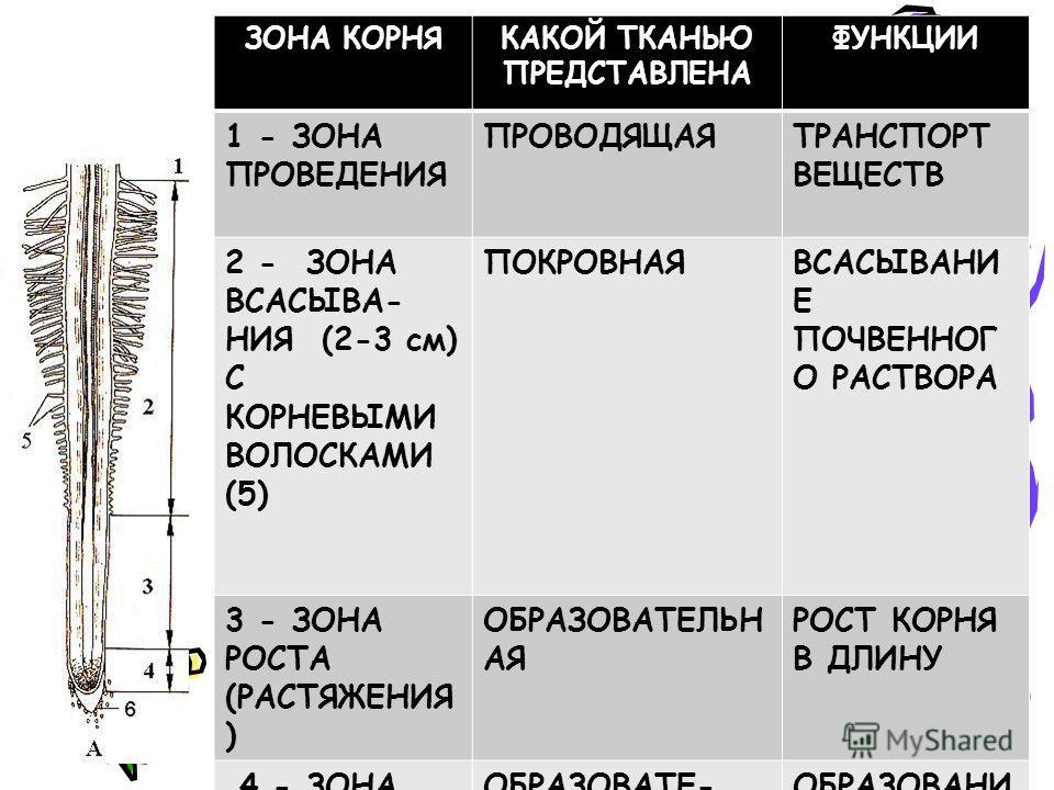 ЗОНА КОРНЯКАКОЙ ТКАНЬЮ ПРЕДСТАВЛЕНА ФУНКЦИИ 1 - ЗОНА ПРОВЕДЕНИЯ ПРОВОДЯЩАЯТРАНСПОРТ ВЕЩЕСТВ 2 - ЗОНА ВСАСЫВА- НИЯ (2-3 см) С КОРНЕВЫМИ ВОЛОСКАМИ (5) ПОКРОВНАЯВСАСЫВАНИ Е ПОЧВЕННОГ О РАСТВОРА 3 - ЗОНА РОСТА (РАСТЯЖЕНИЯ ) ОБРАЗОВАТЕЛЬН АЯ РОСТ КОРНЯ В