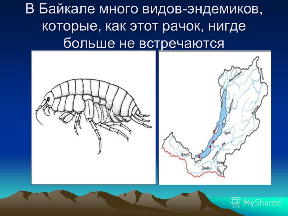 В Байкале много видов-эндемиков, которые, как этот рачок, нигде больше не встречаются