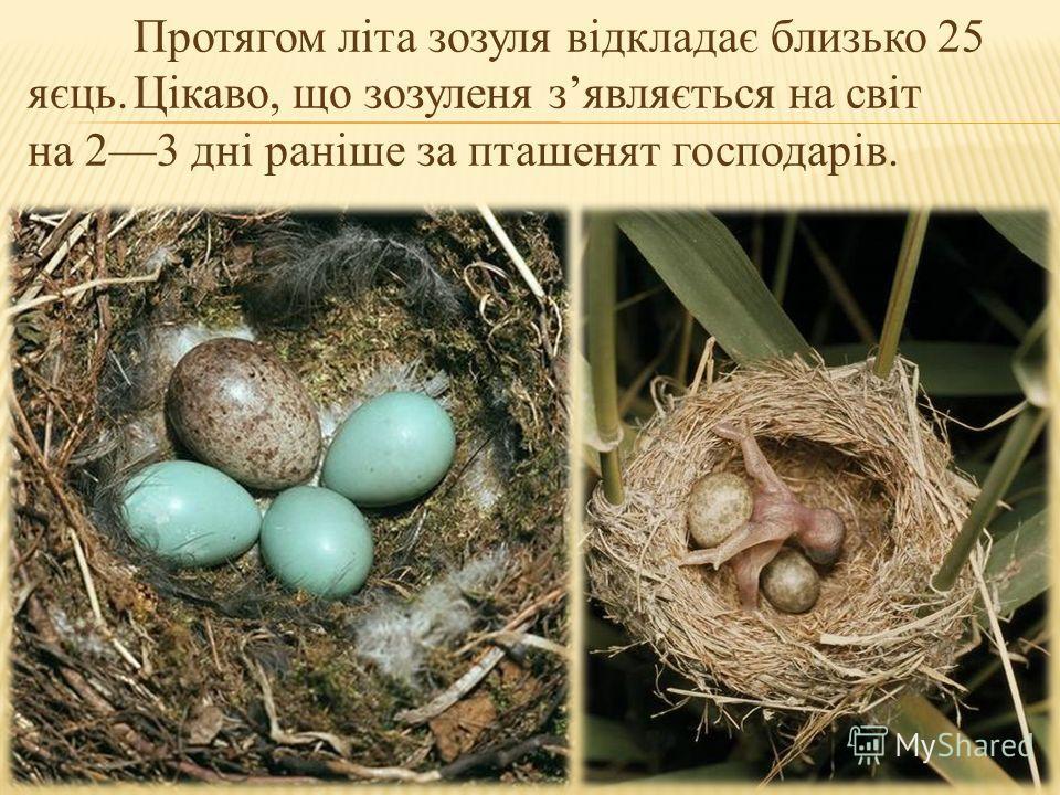 Протягом літа зозуля відкладає близько 25 яєць. Цікаво, що зозуленя зявляється на світ на 23 дні раніше за пташенят господарів.