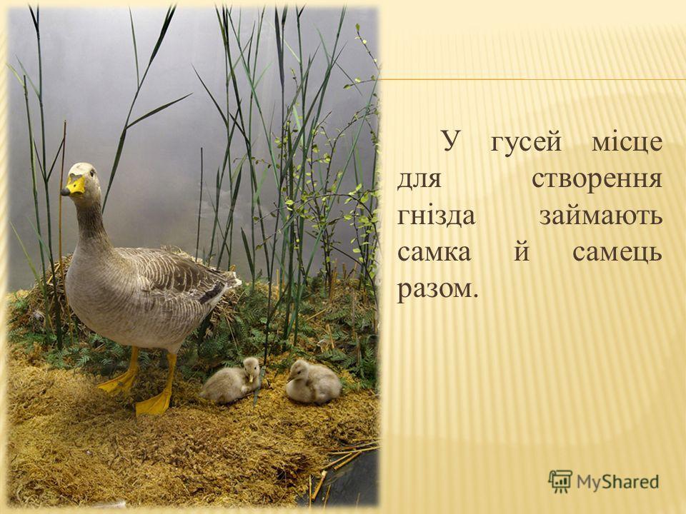 У гусей місце для створення гнізда займають самка й самець разом.