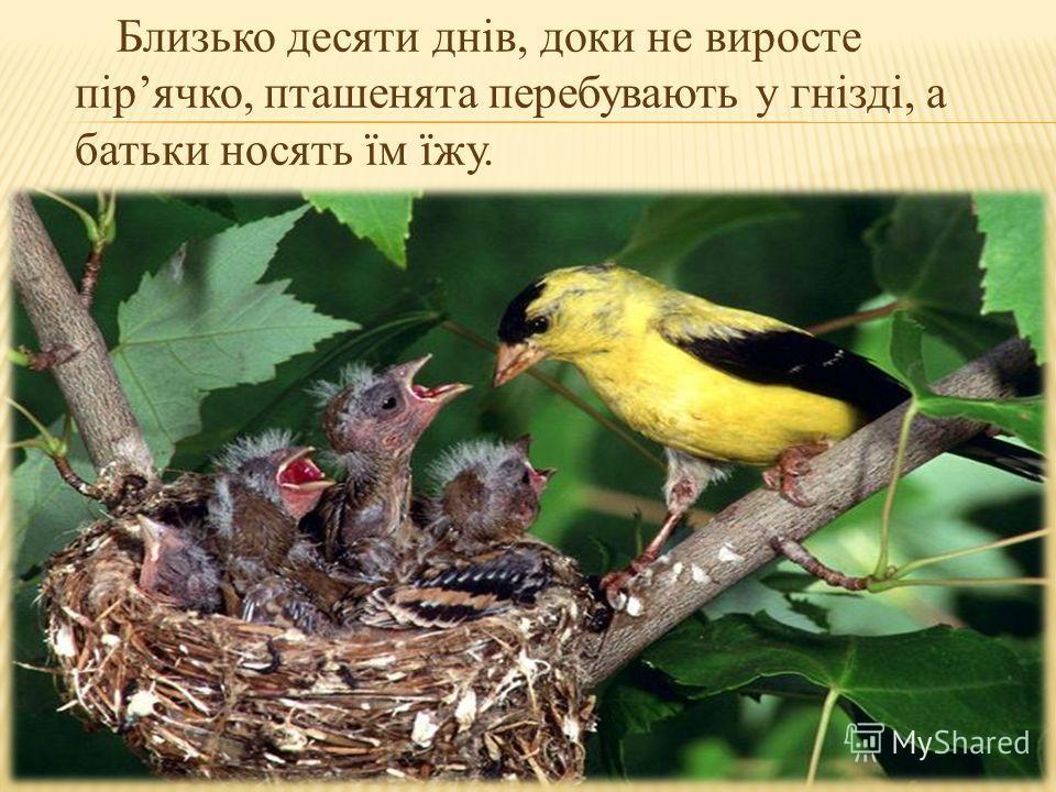 Близько десяти днів, доки не виросте пірячко, пташенята перебувають у гнізді, а батьки носять їм їжу.