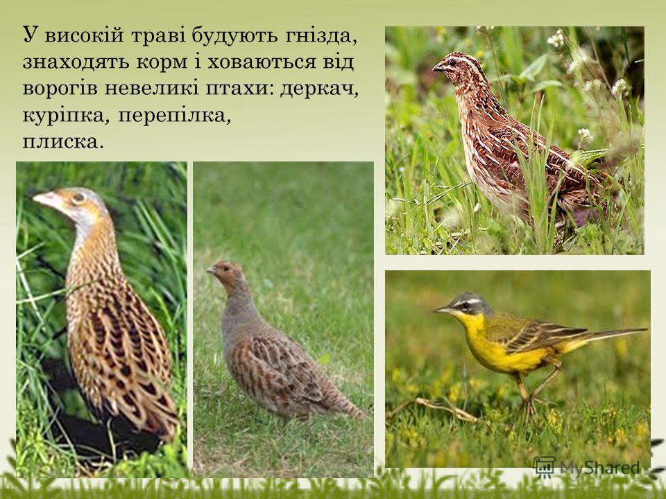 У високій траві будують гнізда, знаходять корм і ховаються від ворогів невеликі птахи: деркач, куріпка, перепілка, пляска.