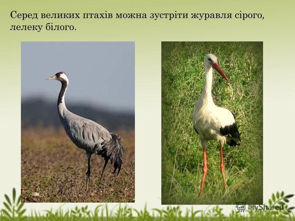 Серед великих птахів можно зустріти журавля сірого, лелеку білого.