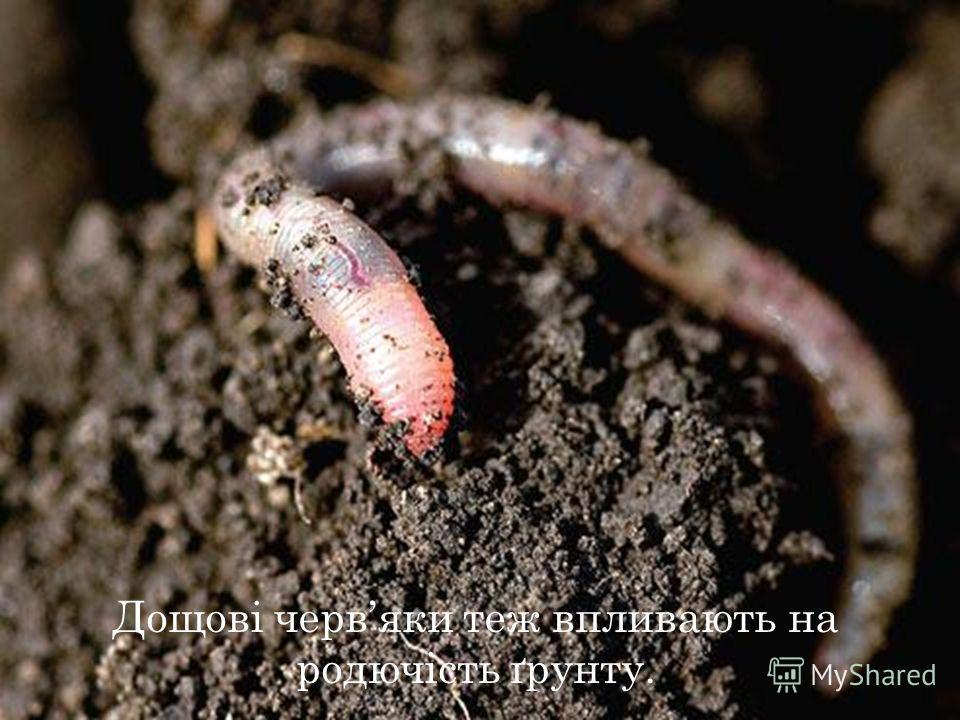 Дощові червяки тез впливають на родючість ґрунту.