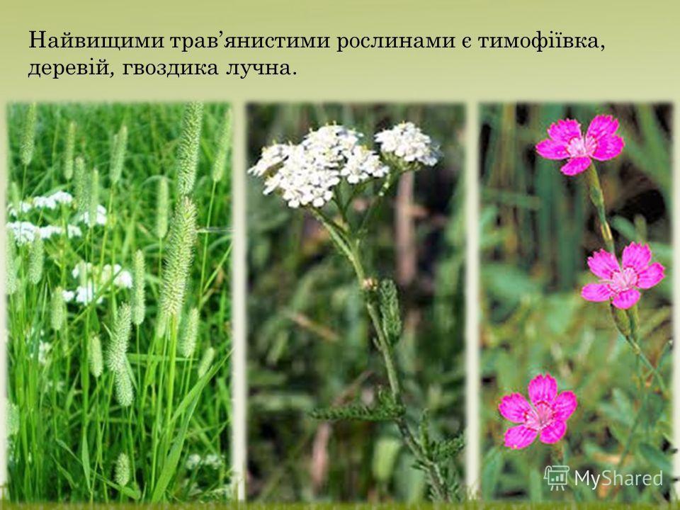 Найвищими травянистыми рослинами є тимофіївка, деревій, гвоздика лучна.