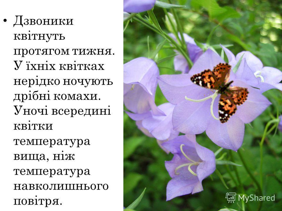 Дзвоники квітнуть протягом тижня. У їхніх квітках нерідко ночують дрібні комахи. Уночі всередині квітки температура вища, ніж температура навколишнього повітря.