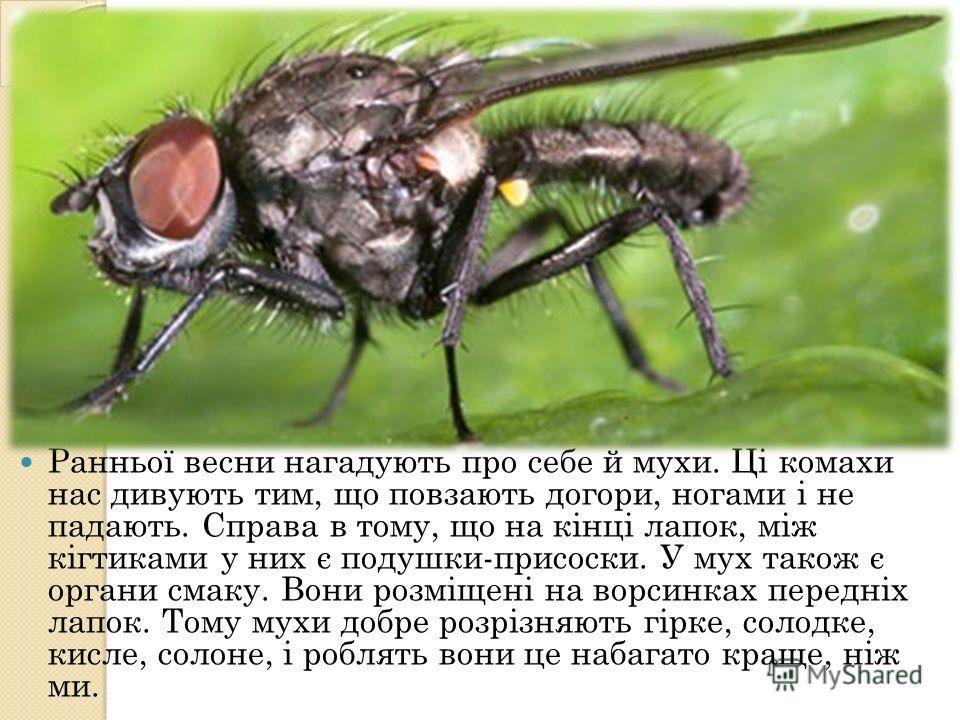 Ранньої весни нагадують про себе й мухи. Ці комахи нас дивують тим, що повзають догори, ногами і не падають. Справа в тому, що на кінці лапок, між кігтиками у них є подушки-присоски. У мух такое є оргони смаку. Вони розміщені на ворсинках передніх ла