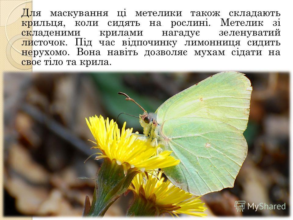 Для маскування ці металлики такое складають кирилльььця, коли сидеть на рослині. Метелик зі складеними кириллььами нагадує зеленуватий листочек. Під час відпочинку лимонница сидеть нерухомо. Вона навіть дозволяє мухам сідати на своє тіло та кириллььа