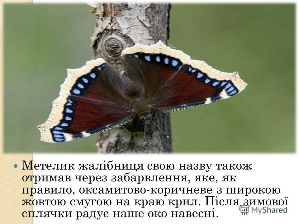 Метелик жалібниця свою назву такое отримав через забарвлення, яке, як правило, аксамитов-коричневые з широкою жовтою смугою на краю кирилльь. Після зимової сплячки радує наше око навесні.