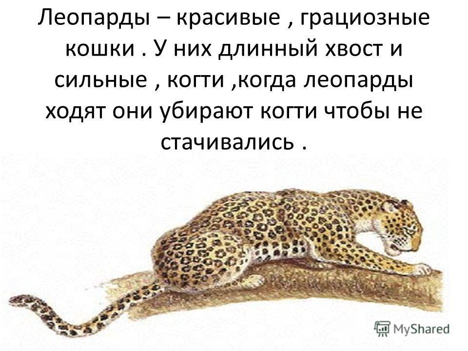 Леопарды – красивые, грациозные кошки. У них длинный хвост и сильные, когти,когда леопарды ходят они убирают когти чтобы не стачивались.