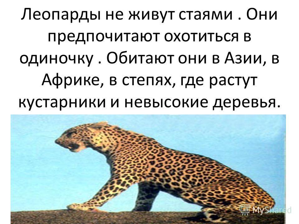 Леопарды не живут стаями. Они предпочитают охотиться в одиночку. Обитают они в Азии, в Африке, в степях, где растут кустарники и невысокие деревья.