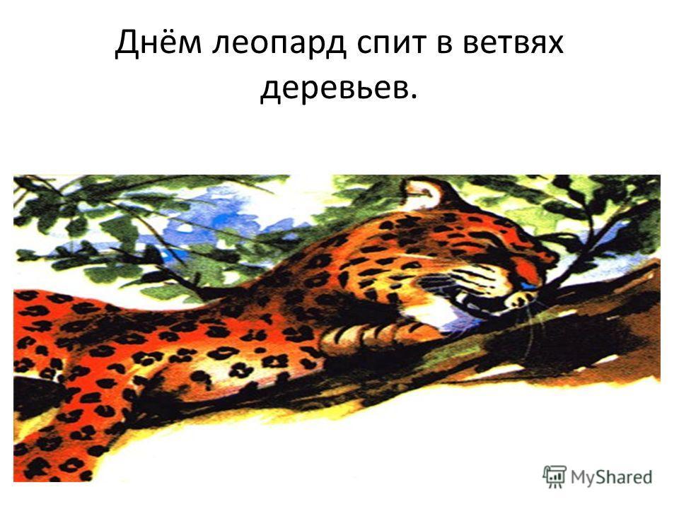 Днём леопард спит в ветвях деревьев.
