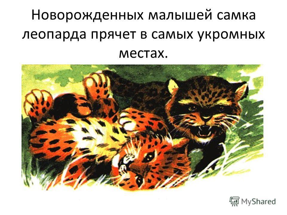 Новорожденных малышей самка леопарда прячет в самых укромных местах.