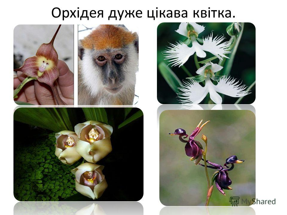Орхідея даже цікава квітка.