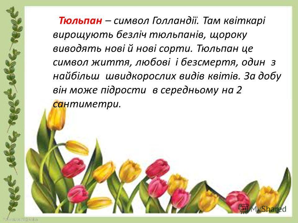 Тюльпан – символ Голландії. Там квіткарі вирощують безліч тюльпанів, щороку виводять нові й нові сорти. Тюльпан це символ життя, любові і безсмертя, один з найбільш швидкорослих видів квітів. За добу він може підрости в середньому на 2 сантиметры.