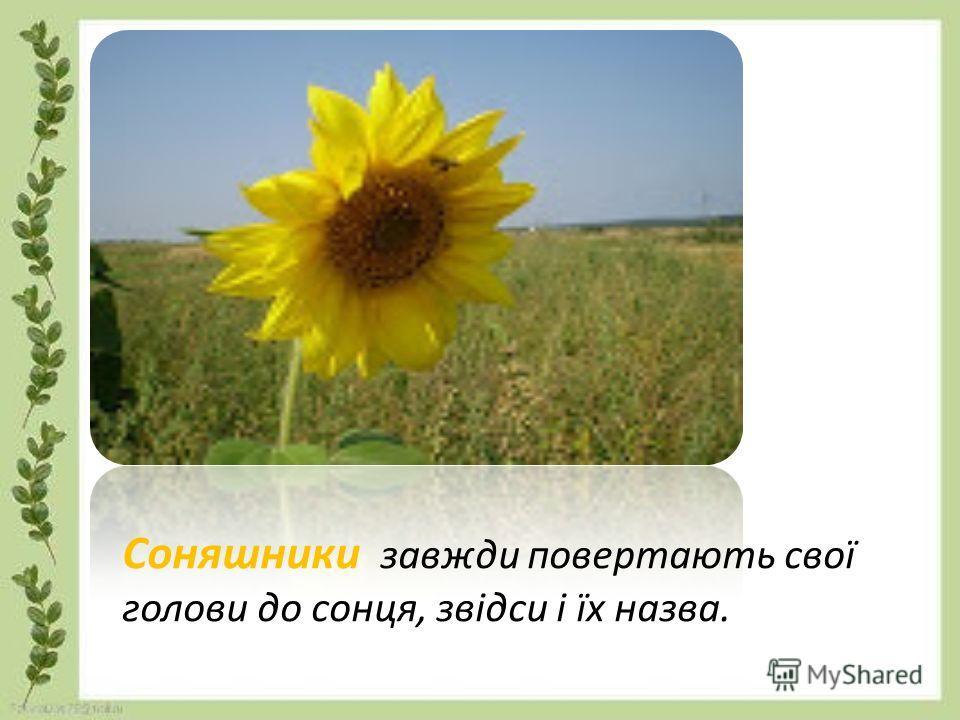 Соняшники завжди повертають свої головы до сонця, звідси і їх назва.