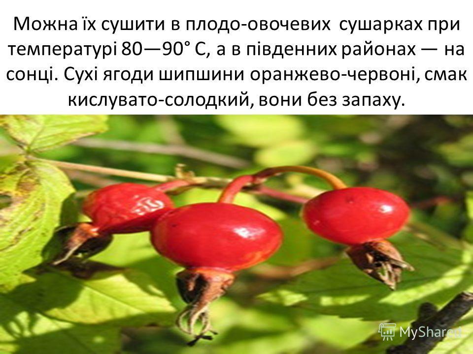 Можна їх сушите в плодов-овочевих сушарках при температурі 8090° С, а в південних районах на сонці. Сухі ягоды шипшини оранжево-червоні, смак кисловато-солодкий, вони без запаху.