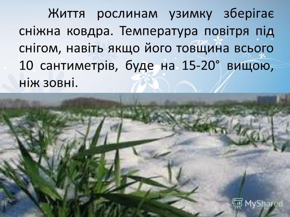 Життя рослинам узимку зберігає сніжна ковдра. Температура повітря під снігом, навіть якщо його толщина всього 10 сантиметрів, буде на 15-20° вищою, ніж зовні.