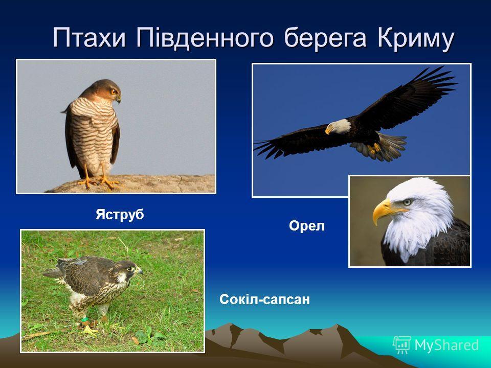 Птахи Південного берега Криму Яструб Сокіл-сапсан Орел