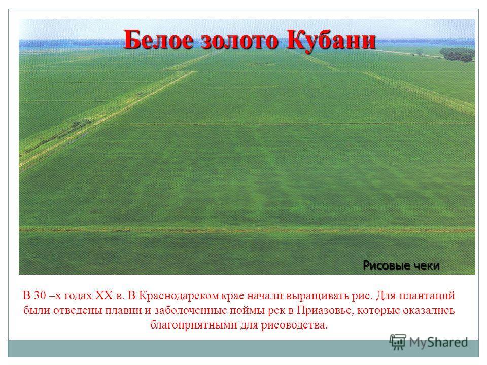 В 30 –х годах XX в. В Краснодарском крае начали выращивать рис. Для плантаций были отведены плавни и заболоченные поймы рек в Приазовье, которые оказались благоприятными для рисоводства. Белое золото Кубани Рисовые чеки