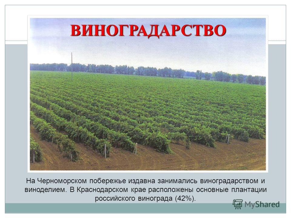 На Черноморском побережье издавна занимались виноградарством и виноделием. В Краснодарском крае расположены основные плантации российского винограда (42%). ВИНОГРАДАРСТВО