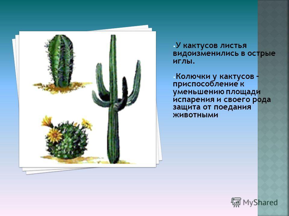 У кактусов листья видоизменились в острые иглы. Колючки у кактусов – приспособление к уменьшению площади испарения и своего рода защита от поедания животными