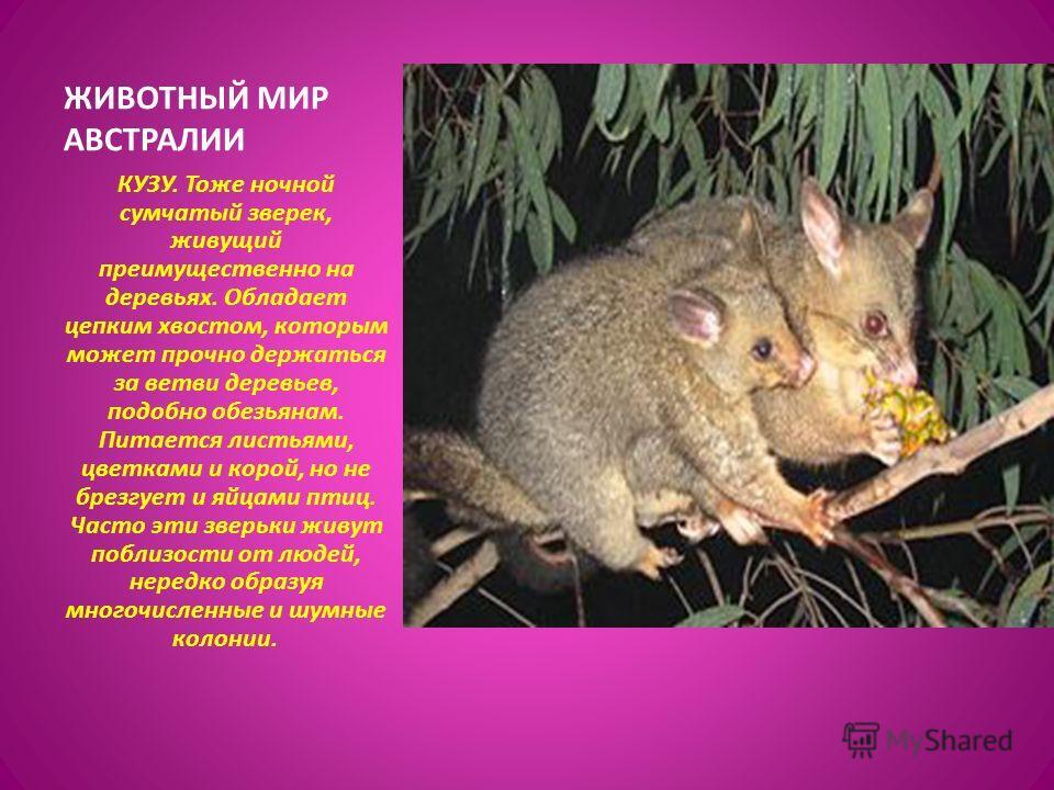 КУЗУ. Тоже ночной сумчатый зверек, живущий преимущественно на деревьях. Обладает цепким хвостом, которым может прочно держаться за ветви деревьев, подобно обезьянам. Питается листьями, цветками и корой, но не брезгует и яйцами птиц. Часто эти зверьки