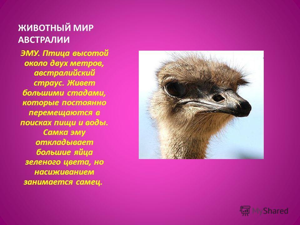 ЭМУ. Птица высотой около двух метров, австралийский страус. Живет большими стадами, которые постоянно перемещаются в поисках пищи и воды. Самка эму откладывает большие яйца зеленого цвета, но насиживанием занимается самец. ЖИВОТНЫЙ МИР АВСТРАЛИИ