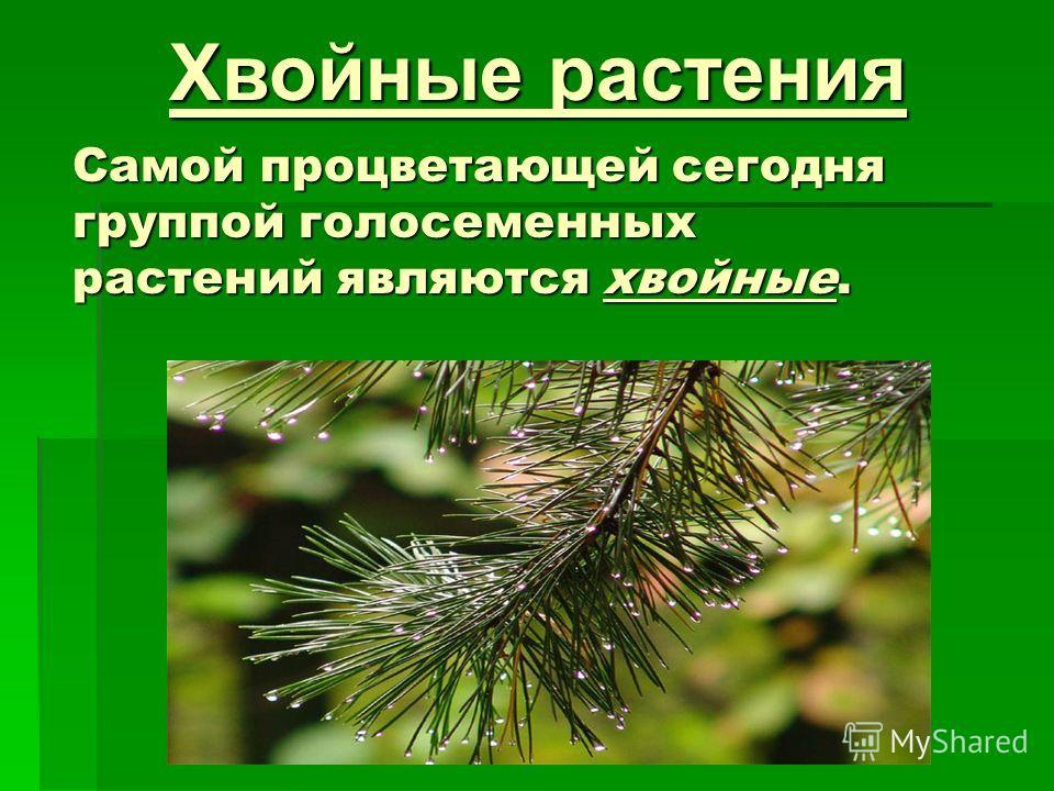 Самой процветающей сегодня группой голосеменных растений являются хвойные. Хвойные растения