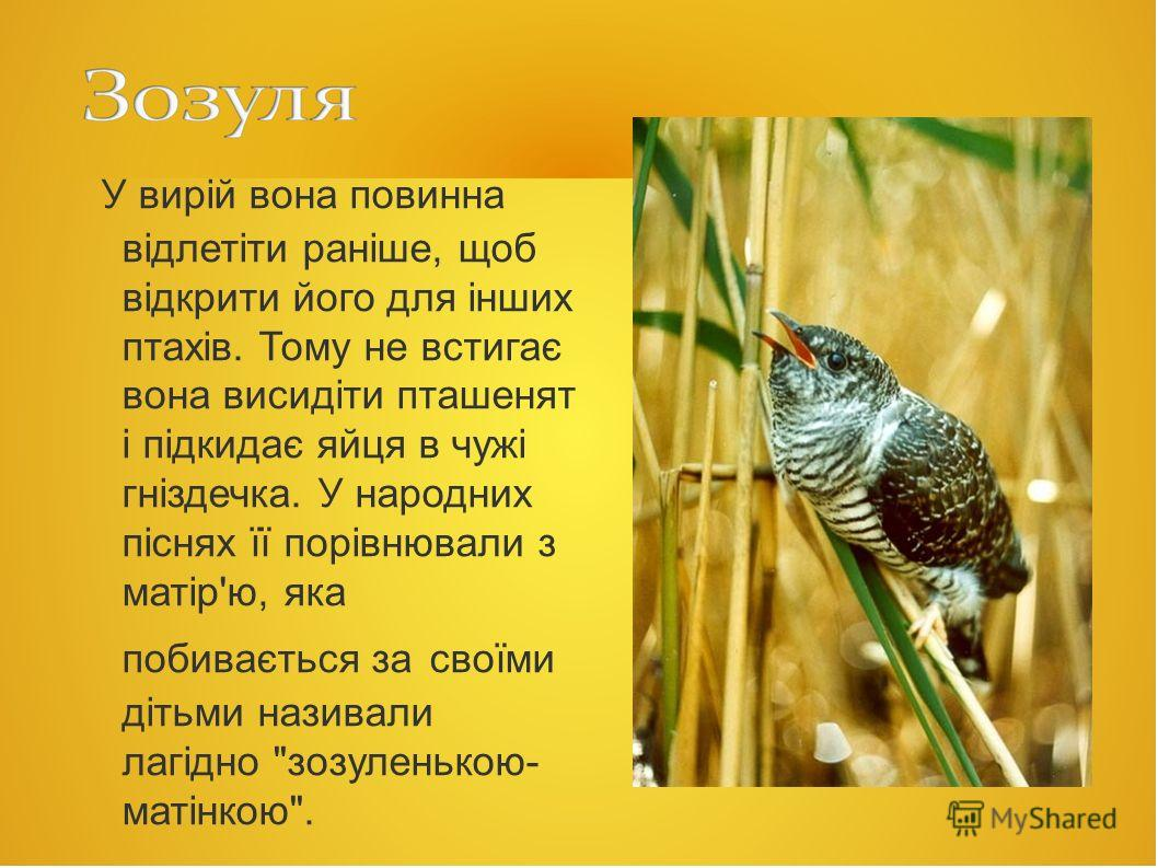 У вирій вона повинна відлетіти раніше, щоб відкрити йога для інших птахів. Тому не встигає вона висидіти пташенят і підкидає яйца в чужі гніздечка. У народних піснях її порівнювали з матір'ю, яка побивається за своїми дітьми называли лагідно