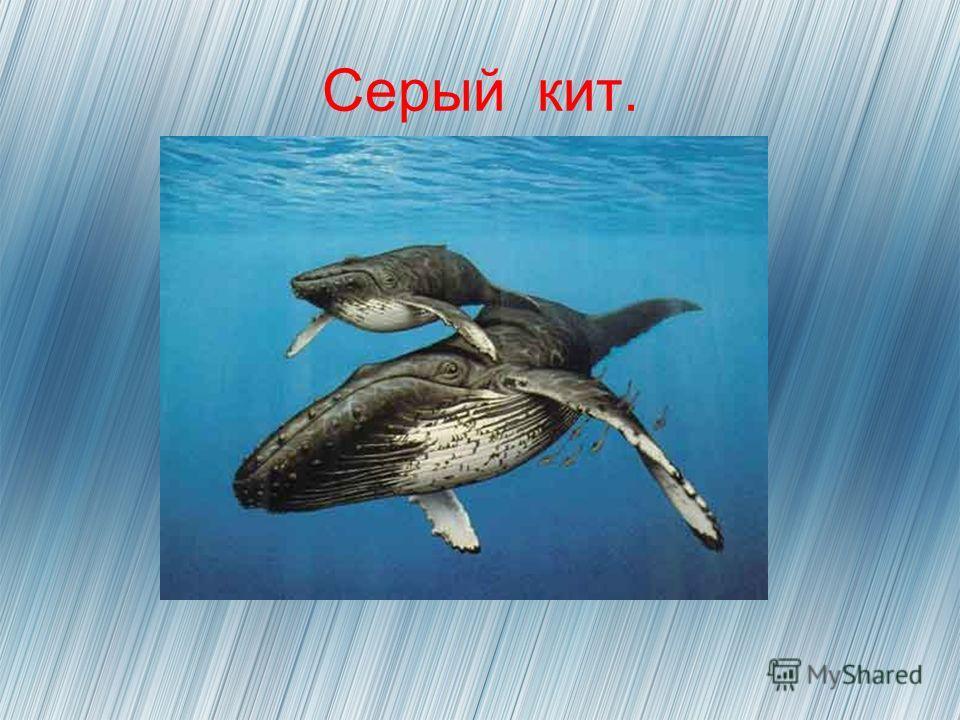 Серый кит.
