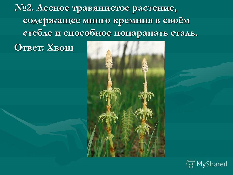 2. Лесное травянистое растение, содержащее много кремния в своём стебле и способное поцарапать сталь. Ответ: Хвощ