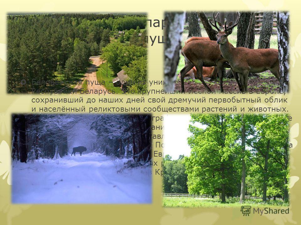 Национальный парк «Беловежская пуща». Беловежская пуща – один из уникальных природных уголков Республики Беларусь. Это крупнейший лесной массив в Европе, сохранивший до наших дней свой дремучий первобытный облик и населённый реликтовыми сообществами