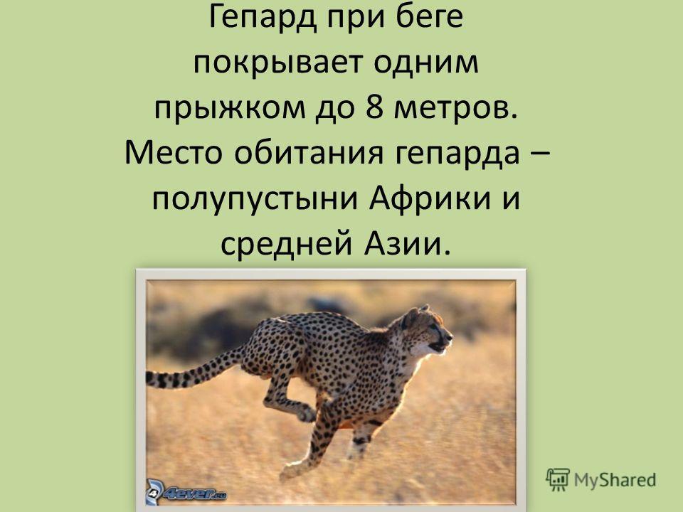 Все знают, кто такой гепард, и что он способен развивать огромную скорость. А точнее до 115 км/час, он как лучшая спортивная машина способен достичь 75 км/час за 2 секунды.
