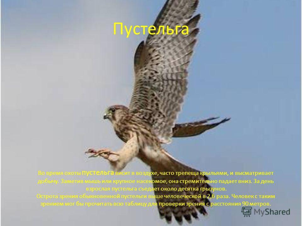 Пустельга Во время охоты пустельга висит в воздухе, часто трепеща крыльями, и высматривает добычу. Заметив мышь или крупное насекомое, она стремительно падает вниз. За день взрослая пустельга съедает около десятка грызунов. Острота зрения обыкновенно